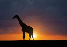 Silhouette Of Giraffe Against The Sunset