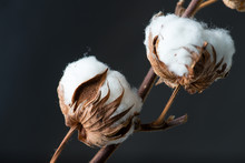 Cotton Plant Flower On Dark Ba...