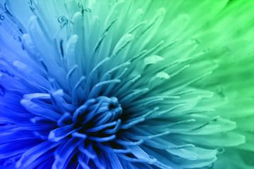 Obraz Floral fantasy wallpaper, soft blur style. Colorful dandelion poster