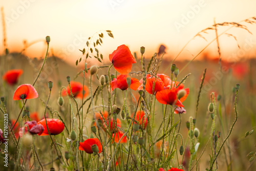 Foto op Canvas Poppy Wheat field with poppies