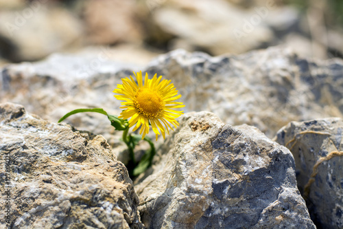 Photo  Lonely yellow dandelion growing in small rocks
