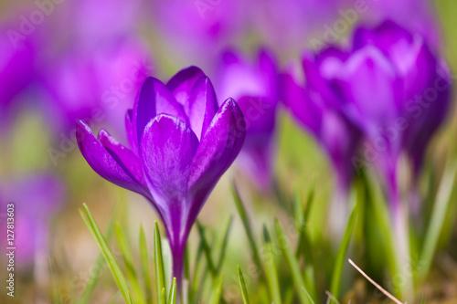 Foto op Plexiglas Krokussen Violet crocus during spring days in Lazienki park, Warsaw