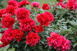 Many bright blooming red peony flower in the garden