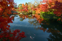 Beautiful Japanese Pond Garden With Autumn Maple Tree Reflections And Colorful Fish