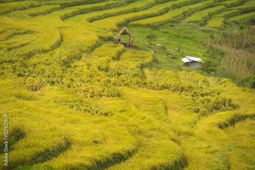 Fotobehang Rijstvelden Gold Terraced Rice Field, Pa Pong Pieng , Mae Chaem, Chiang Mai, Thailand