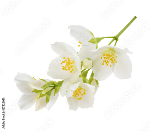 Photographie Jasmine flower isolated on white