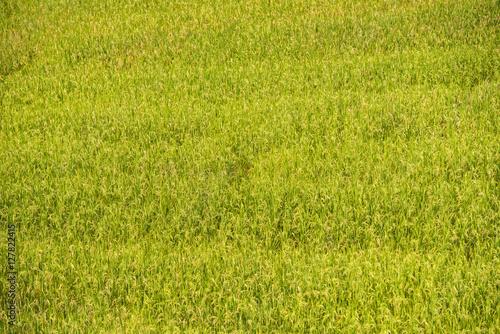 Gold Terraced Rice Field, Pa Pong Pieng , Mae Chaem, Chiang Mai, Thailand