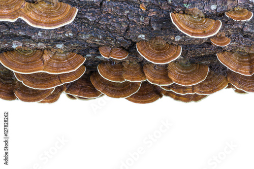 Photo Macro wet brown bracket fungus on wood isolated on white. Saved