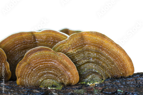 Macro wet brown bracket fungus on wood isolated on white. Saved Canvas Print