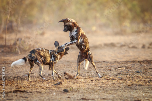 Photo  Two playing African wild dogs.