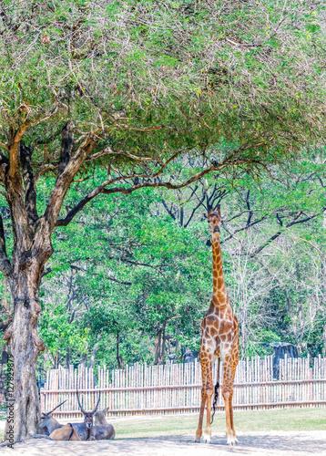 Giraffe stood up under tree Poster