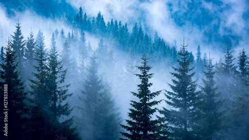 Photo  pine forest in blue fog