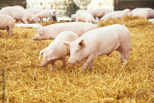 young piglet on hay at pig farm