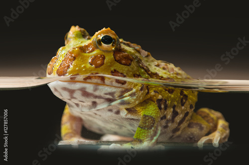 Tuinposter Kikker Argentine Horned Frog or Pac-man frog is most common species of Horned Frog, from the grasslands of Argentina, Uruguay and Brazil.
