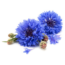 Blue Cornflower Herb Or Bachelor Button Flower Head Isolated On