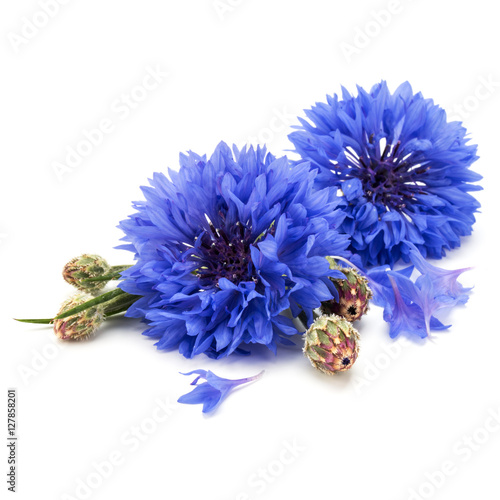 Blue Cornflower Herb or bachelor button flower head isolated on Wall mural