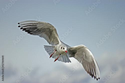 Fotografie, Obraz Albatros oder Möwe im Flug