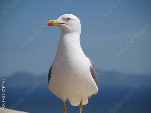Fototapeta  Albatros vor blauem Himmel sitzt und schaut nach links