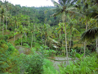 Terraced rice fields in tropical Indonesian jungle