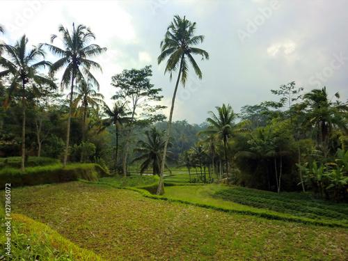 Papiers peints Les champs de riz Terraced rice fields in tropical Indonesian jungle