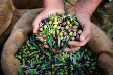 Harvested Fresh Olives In The Hands Of The Farmer, Crete, Greece