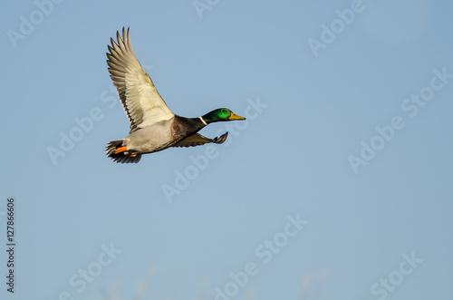 Mallard Duck Flying In A Blue Sky Kaufen Sie Dieses Foto Und