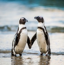 African Penguin Walk Out Of The Ocean On The Sandy Beach. African Penguin ( Spheniscus Demersus) Also Known As The Jackass Penguin And Black-footed Penguin. Boulders Colony. South Africa