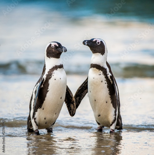 In de dag Pinguin African penguin walk out of the ocean on the sandy beach. African penguin ( Spheniscus demersus) also known as the jackass penguin and black-footed penguin. Boulders colony. South Africa