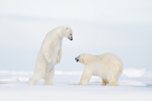 Polar Fight On The Ice. Two Polar Bear Fighting On Drift Ice In Arctic Svalbard. Wildlife Winter Scene With Two Polar Bear. Action View Of Wild Nature. Pair Of Polar Bird In Love With Open Muzzle.