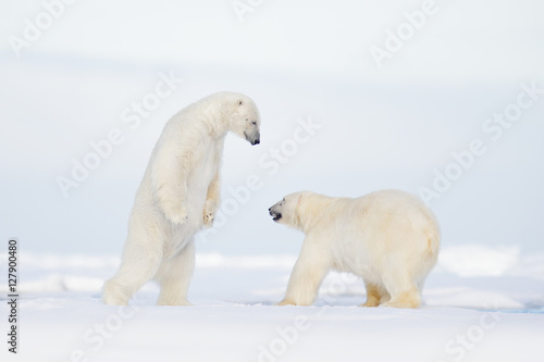 In de dag Ijsbeer Polar fight on the ice. Two polar bear fighting on drift ice in Arctic Svalbard. Wildlife winter scene with two polar bear. Action view of wild nature. Pair of polar bird in love with open muzzle.