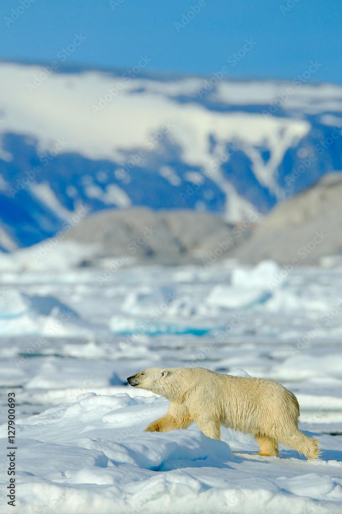 Beautiful winter scene with ice and snow. Polar bear on drift ice with snow, white animal in the nature habitat, Svalbard, Norway. Running polar bear in the cold sea. Polar bear with blue iceberg.