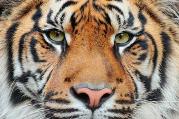 Fototapeta Close-up detail portrait of tiger. Sumatran tiger, Panthera tigris sumatrae, rare tiger subspecies that inhabits the Indonesian island of Sumatra. Beautiful face portrait of tiger. Striped fur coat.