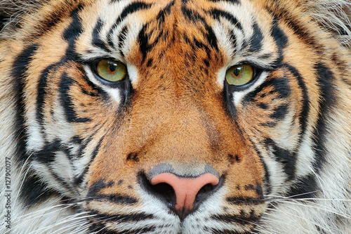 Close-up detail portrait of tiger. Sumatran tiger, Panthera tigris sumatrae, rare tiger subspecies that inhabits the Indonesian island of Sumatra. Beautiful face portrait of tiger. Striped fur coat.