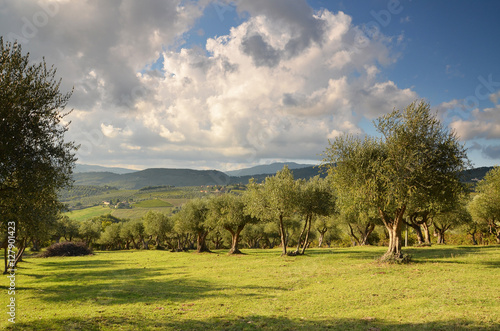 Stampa su Tela Olive groves in Chianti in a beautiful day in autumn, Tuscany Italy