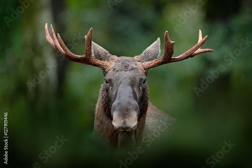 Fotografía  Detail portrait of elk, moose