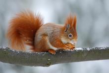 Cute Orange Red Squirrel Eats A Nut In Winter Scene With Snow, Czech Republic