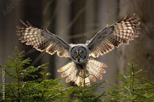 Fotobehang Uil Action scene from the forest with owl. Flying Great Grey Owl, Strix nebulosa, above green spruce tree with orange dark forest background. Wildlife in Sweden. Bird in fly with open wing.