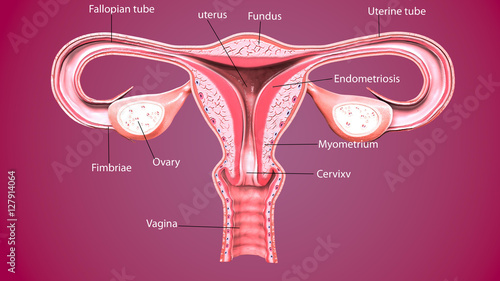 Photo  3d render Female reproductive system