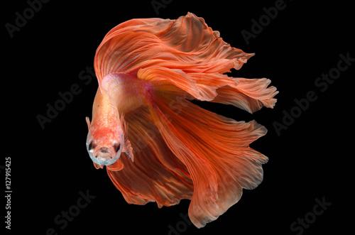 Fotografie, Obraz  Rhythmic of Betta fish, siamese fighting fish,isolated on black