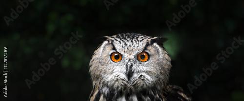 Owl Portrait. owl eyes
