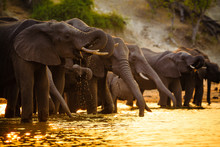 Elephants In Chobe National Pa...