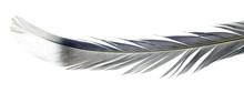 Light Blue Bird Feather Isolated On White Background