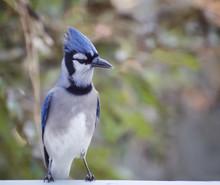 Close Up Of A Blue Jay Bird