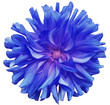 Leinwandbild Motiv blue big flower , pink center on a white  background isolated  with clipping path. Closeup. big shaggy  flower. for design. Dahlia.