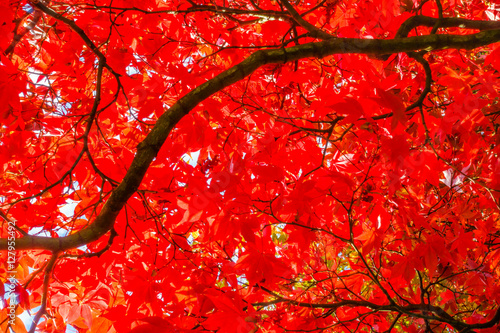 Foto op Aluminium Rood A closeup view from underneath a red autumn tree.