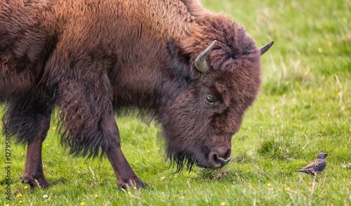 Foto op Canvas Bison Bison Buffalo Portrait