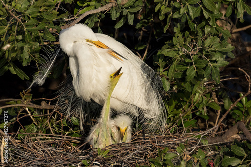 A White Egret on the nest with two chicks at the Venice Rookery, Venice Florida
