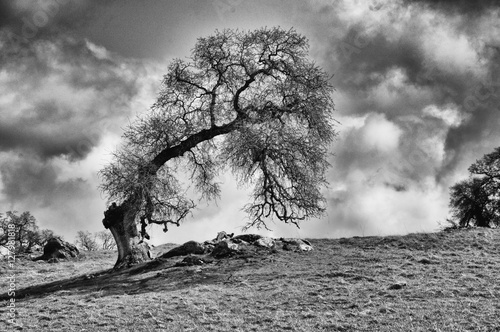 Leaning Oak Tree, Amador County
