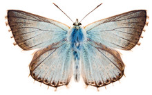 The Butterfly Chalkhill Blue O...