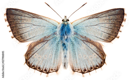 Photo The butterfly Chalkhill blue or Polyommatus coridon